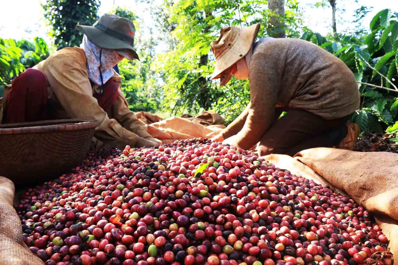 Cà phê nhân Robusta có tỉ lệ chín cao - Trí Việt Coffee